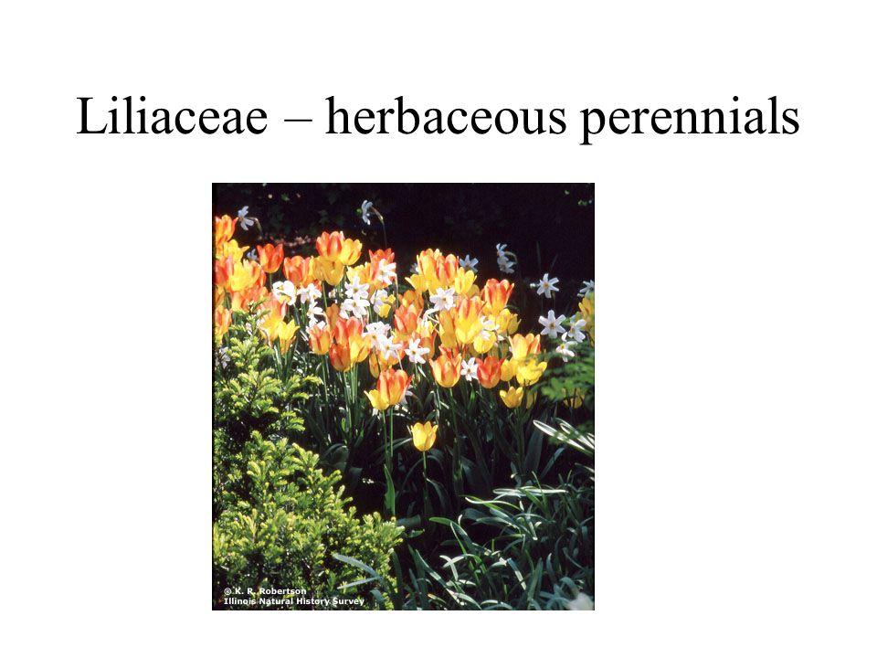 Liliaceae – herbaceous perennials