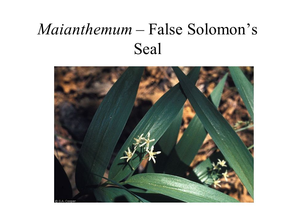 Maianthemum – False Solomon's Seal