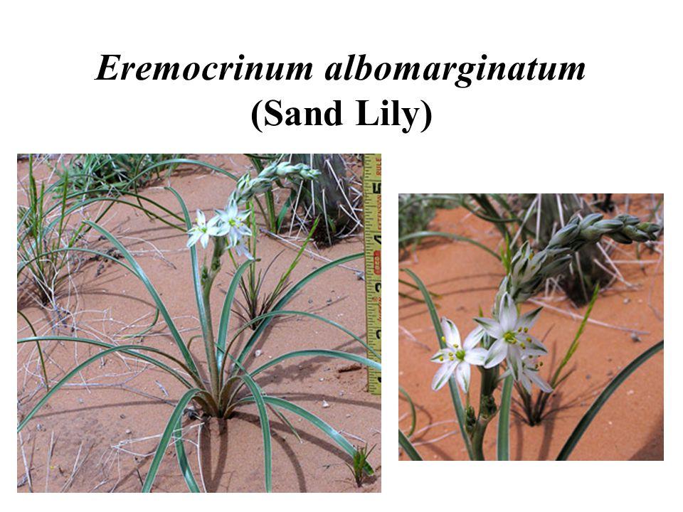 Eremocrinum albomarginatum (Sand Lily)