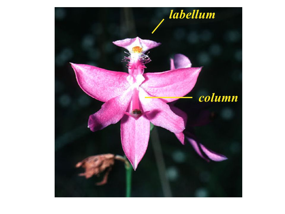 labellum column