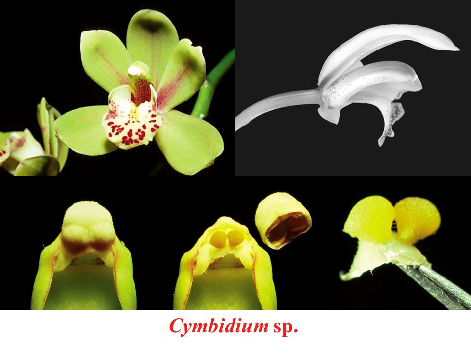 Cymbidium sp.