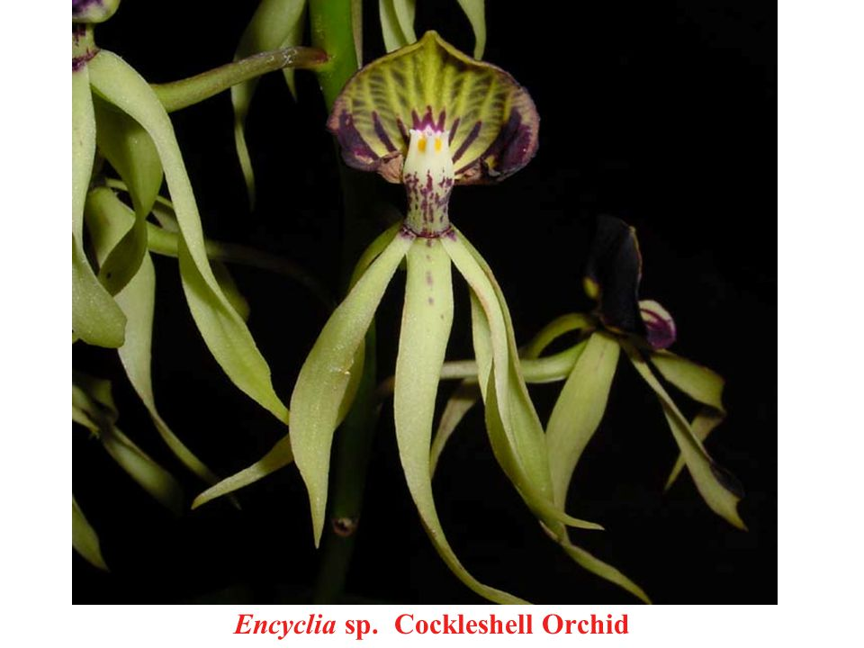 Encyclia sp. Cockleshell Orchid