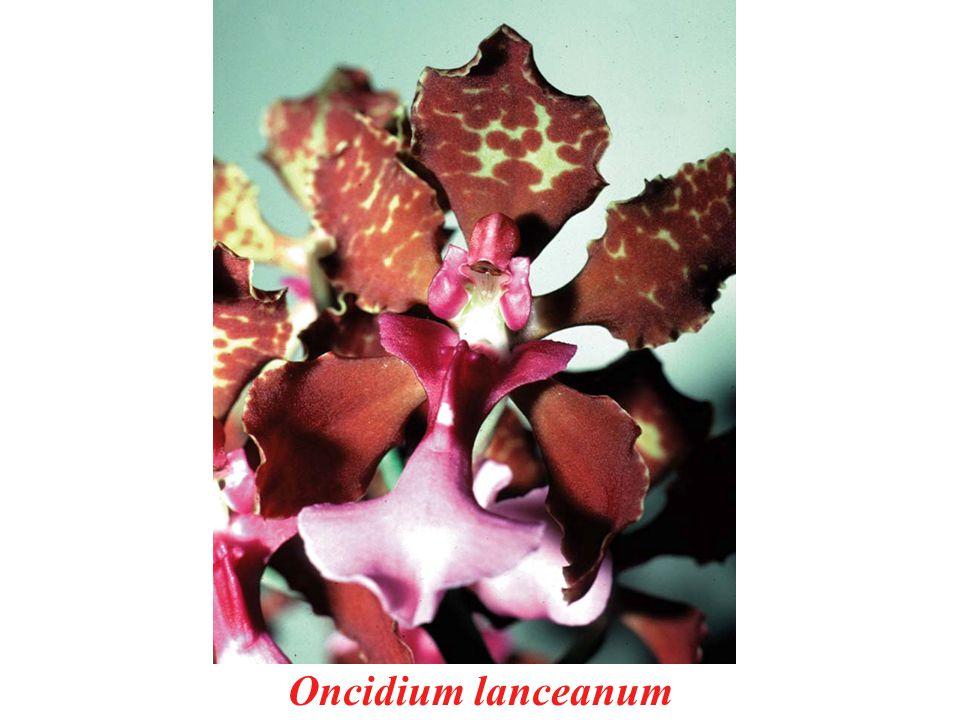 Oncidium lanceanum