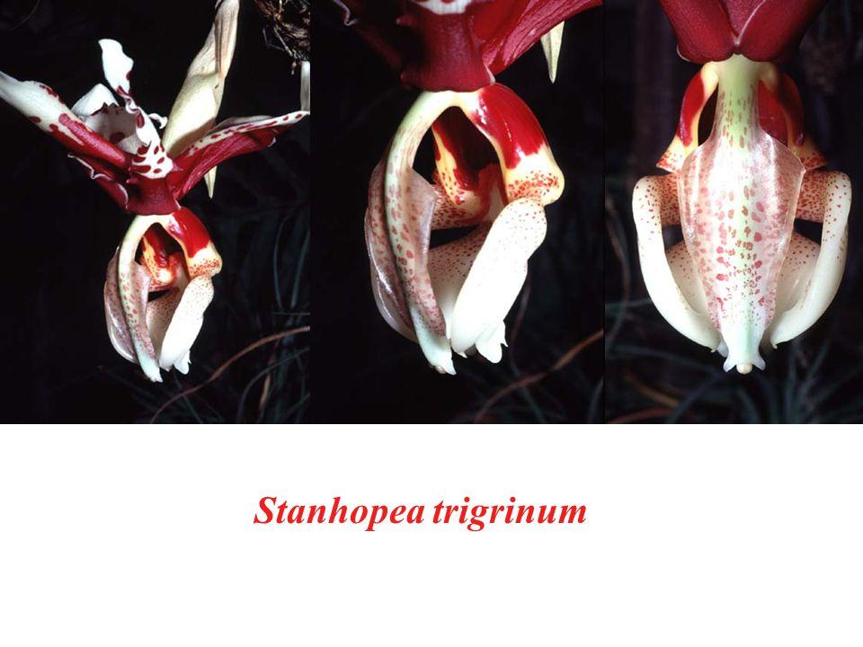 Stanhopea trigrinum