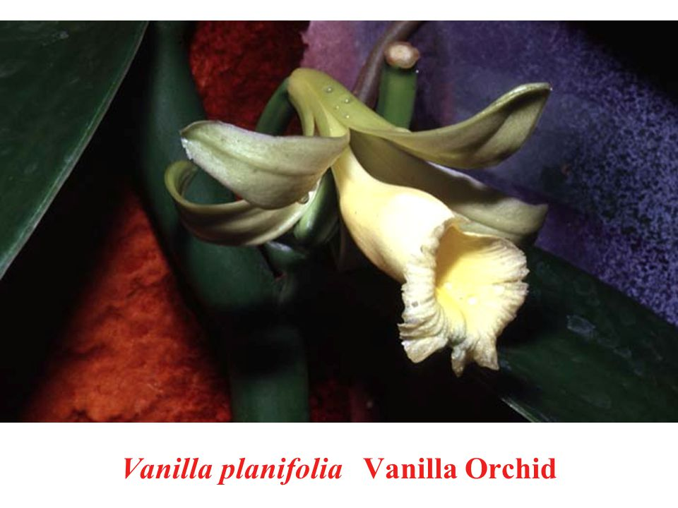 Vanilla planifolia Vanilla Orchid