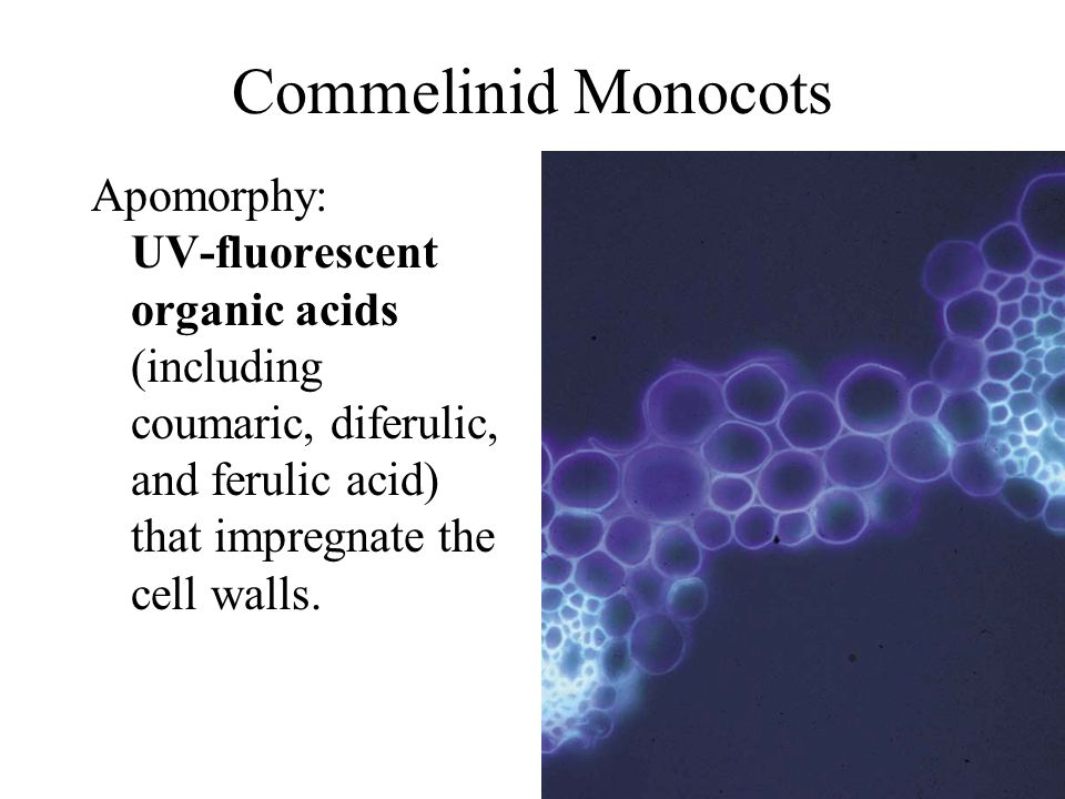 Commelinid Monocots Apomorphy: UV-fluorescent organic acids (including coumaric, diferulic, and ferulic acid) that impregnate the cell walls.
