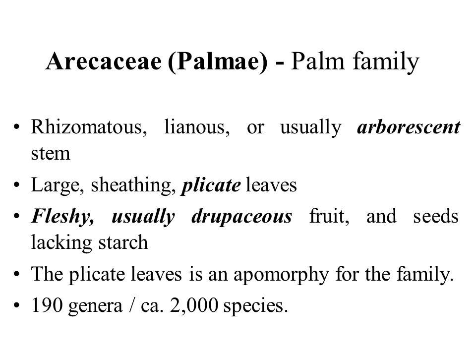 Arecaceae (Palmae) - Palm family