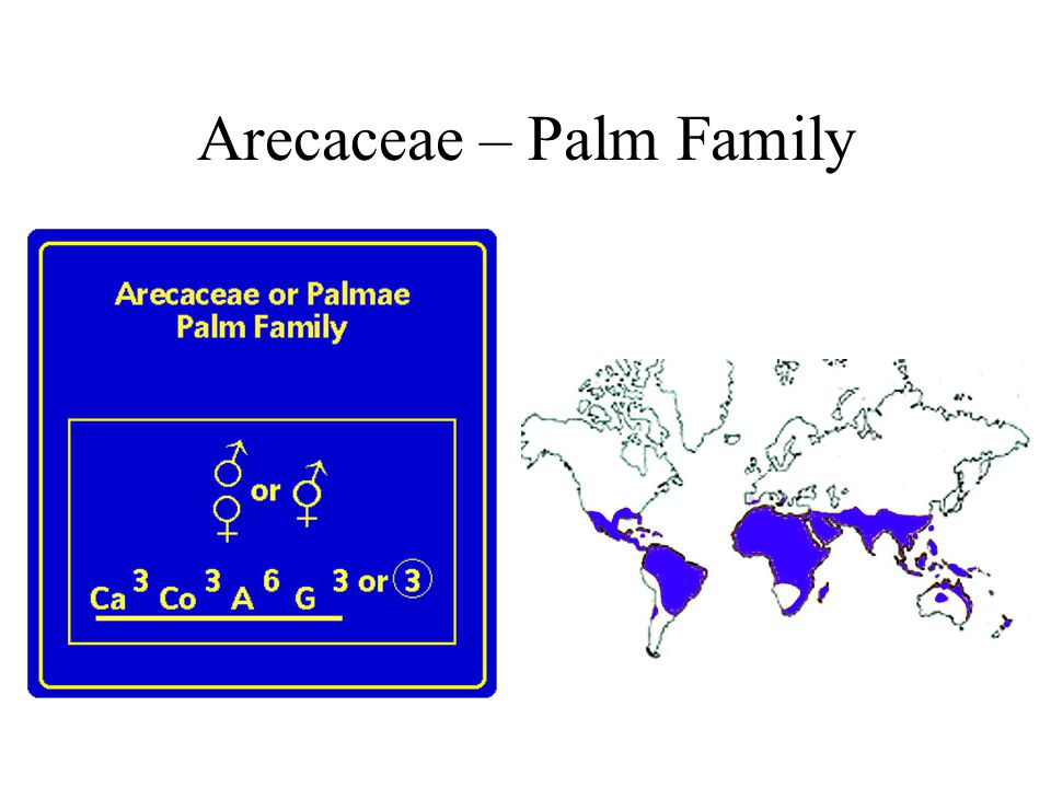 Arecaceae – Palm Family