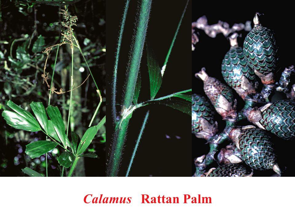 Calamus Rattan Palm