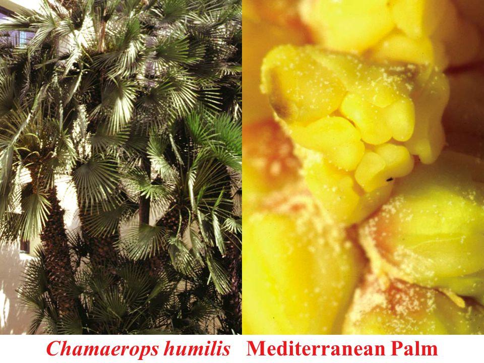 Chamaerops humilis Mediterranean Palm