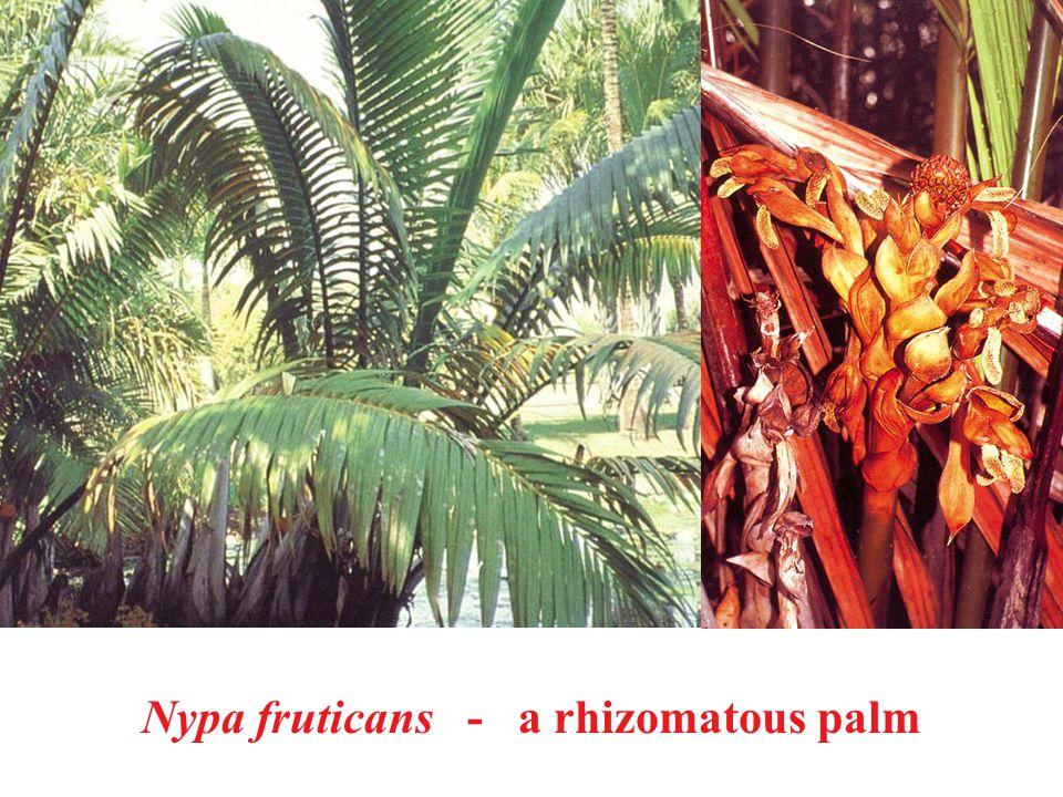 Nypa fruticans - a rhizomatous palm