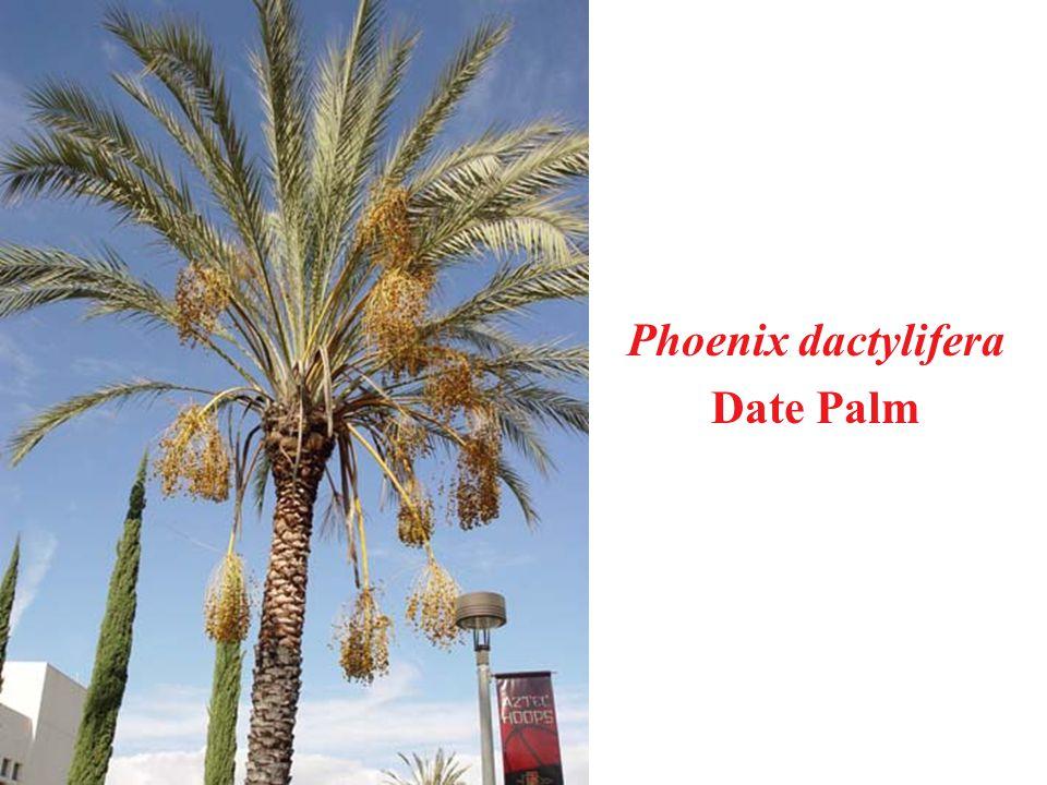Phoenix dactylifera Date Palm