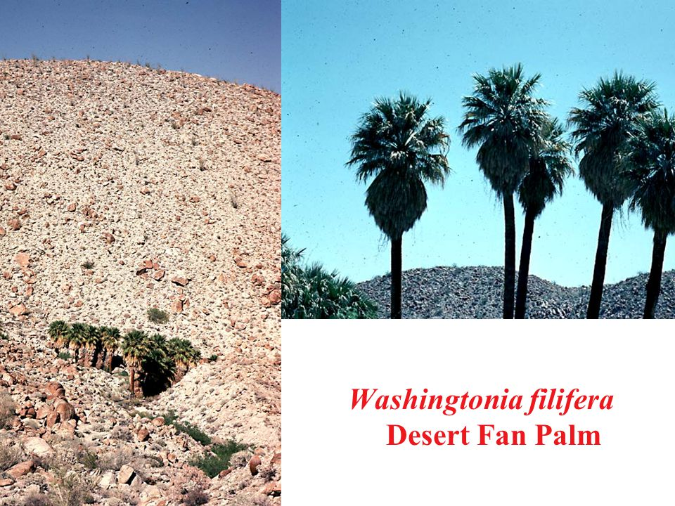 Washingtonia filifera Desert Fan Palm
