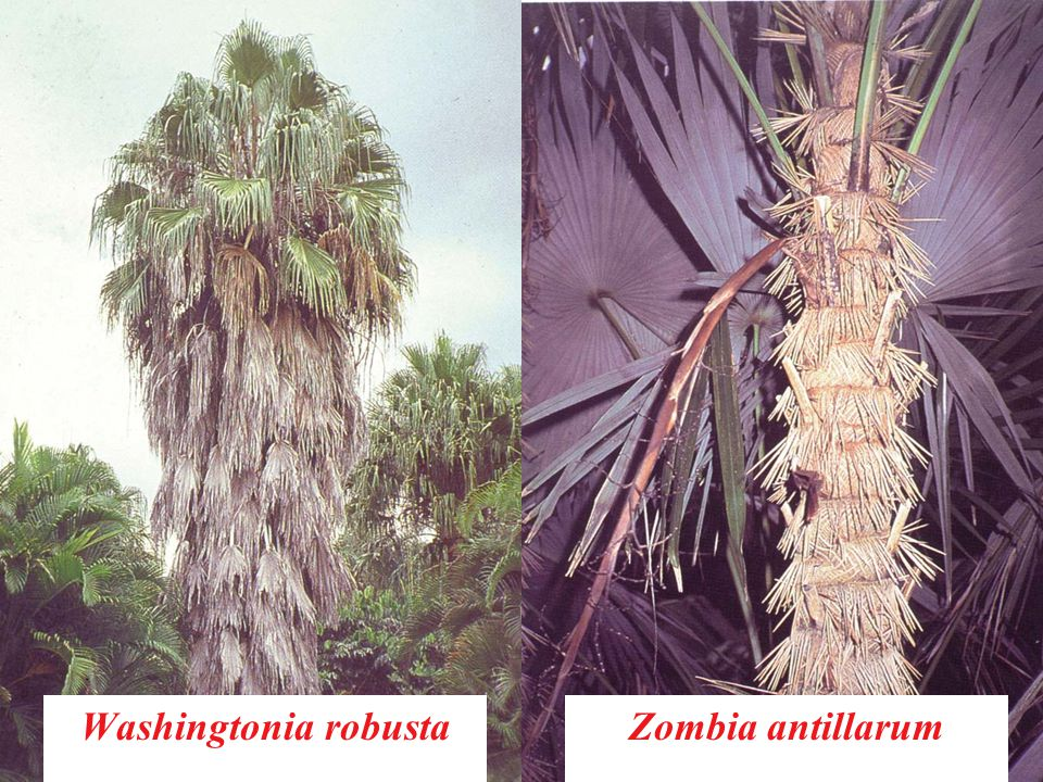 Washingtonia robusta Zombia antillarum