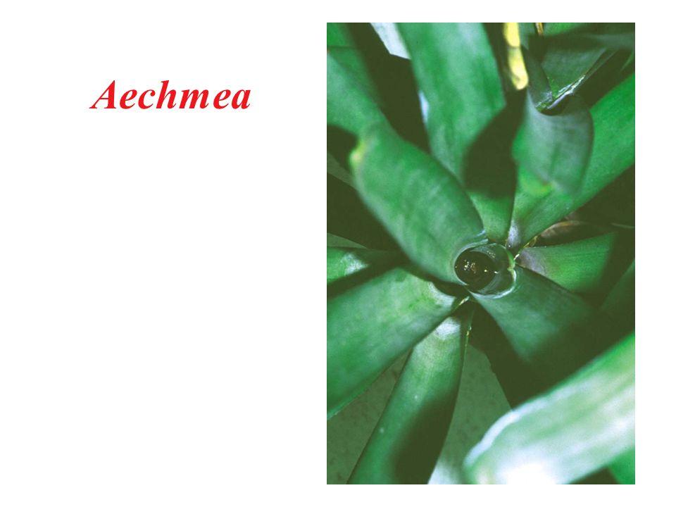 Aechmea