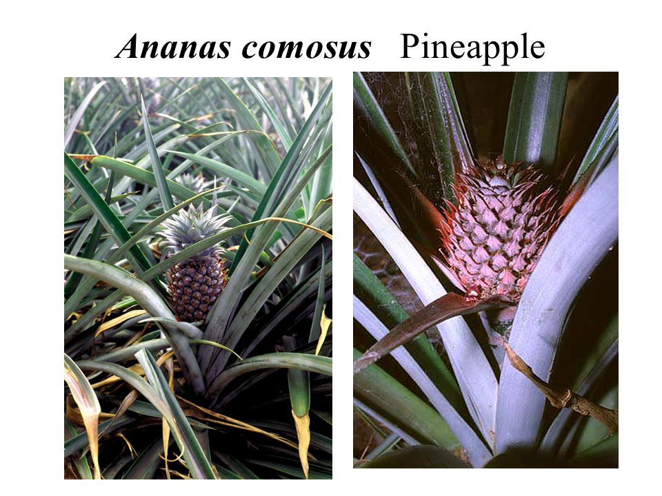 Ananas comosus Pineapple