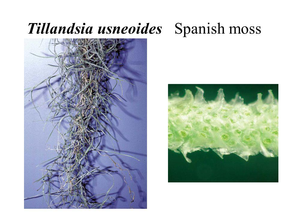 Tillandsia usneoides Spanish moss