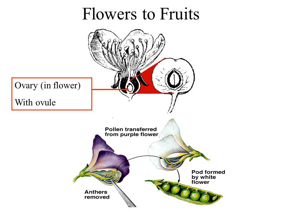 Flowers to Fruits Ovary (in flower) With ovule