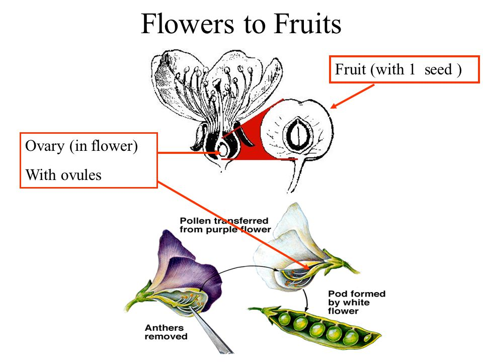 Flowers to Fruits Fruit (with 1 seed ) Ovary (in flower) With ovules