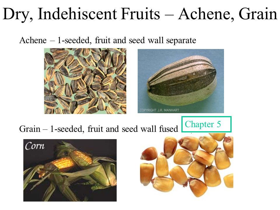 Dry, Indehiscent Fruits – Achene, Grain