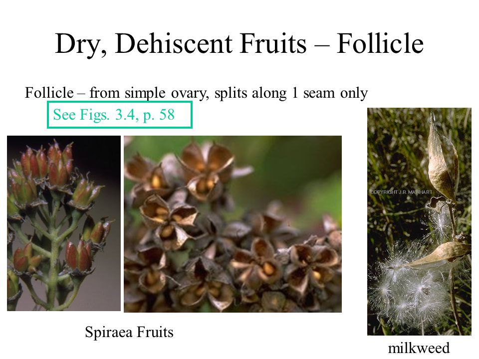 Dry, Dehiscent Fruits – Follicle