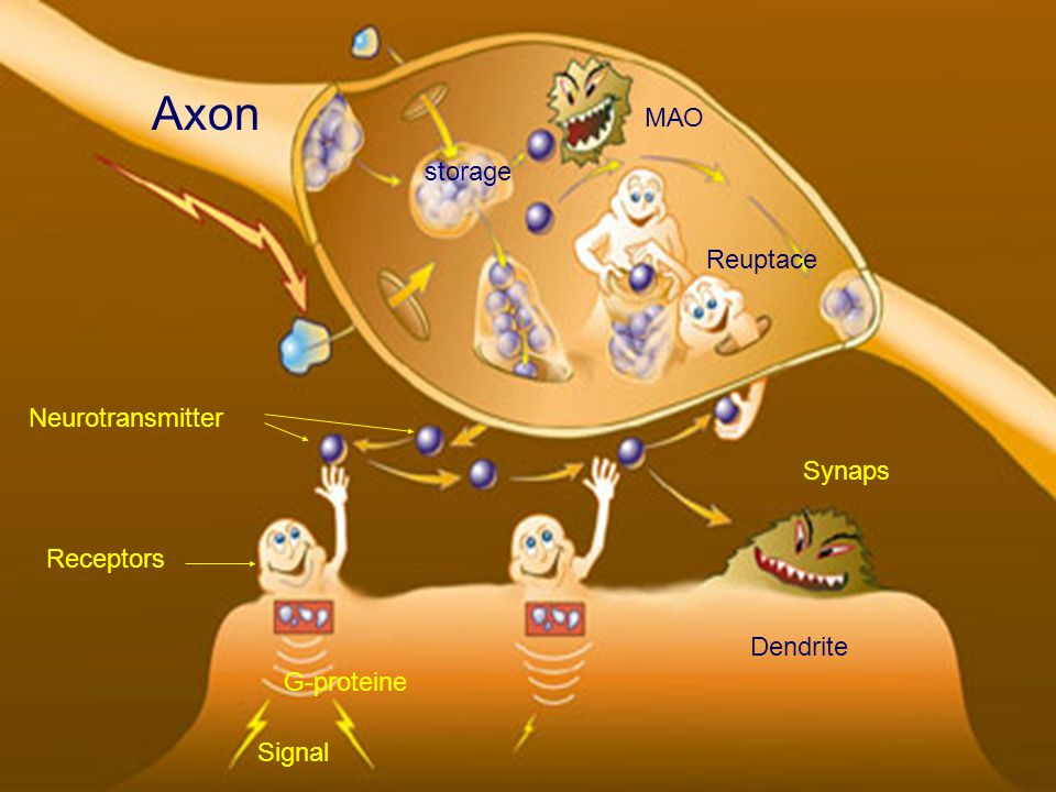 Axon МАО storage Reuptace Neurotransmitter Synaps Receptors Dendrite