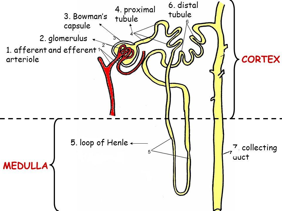 CORTEX MEDULLA 6. distal tubule 4. proximal tubule 3. Bowman's capsule