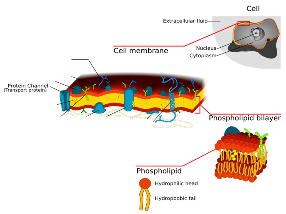 Animal Cell Membrane