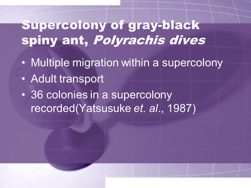 Supercolony of gray-black spiny ant, Polyrachis dives