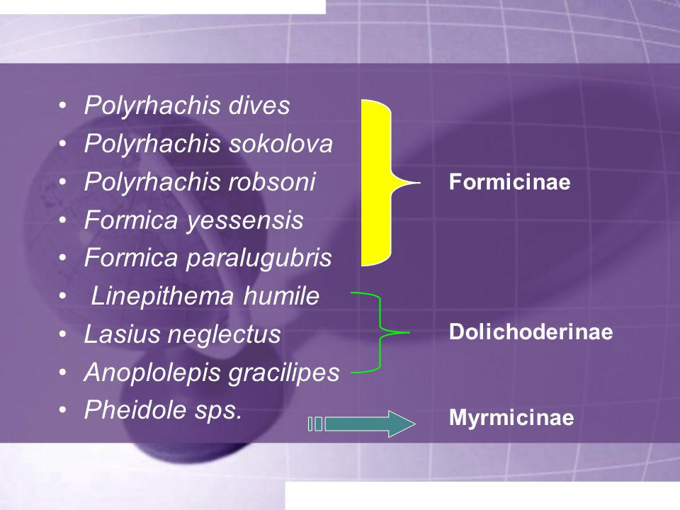 Anoplolepis gracilipes Pheidole sps.