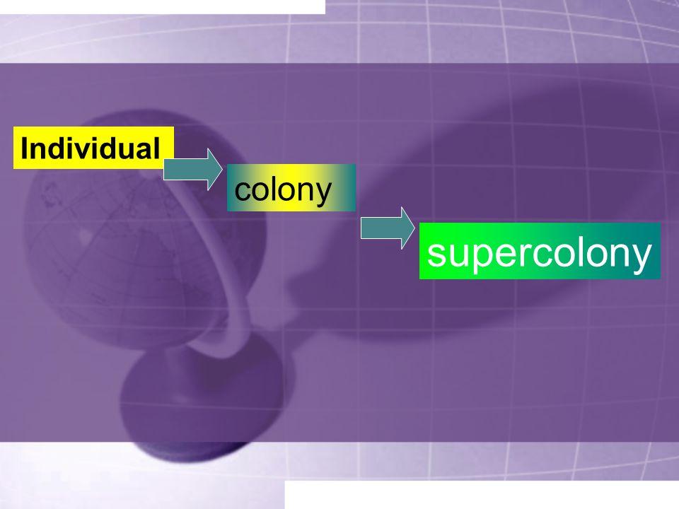 Individual colony supercolony