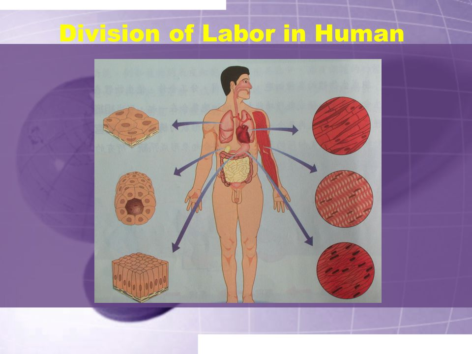 Division of Labor in Human