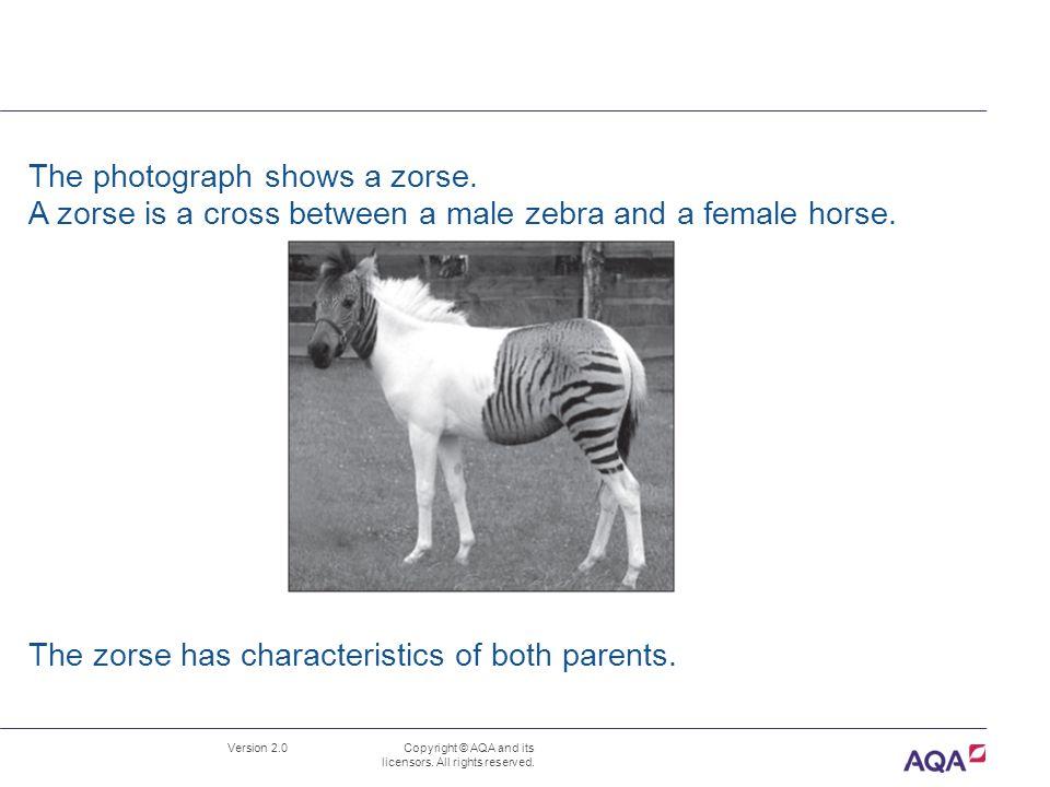 The photograph shows a zorse.