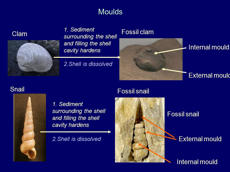 Moulds Fossil clam Clam Internal mould External mould Snail