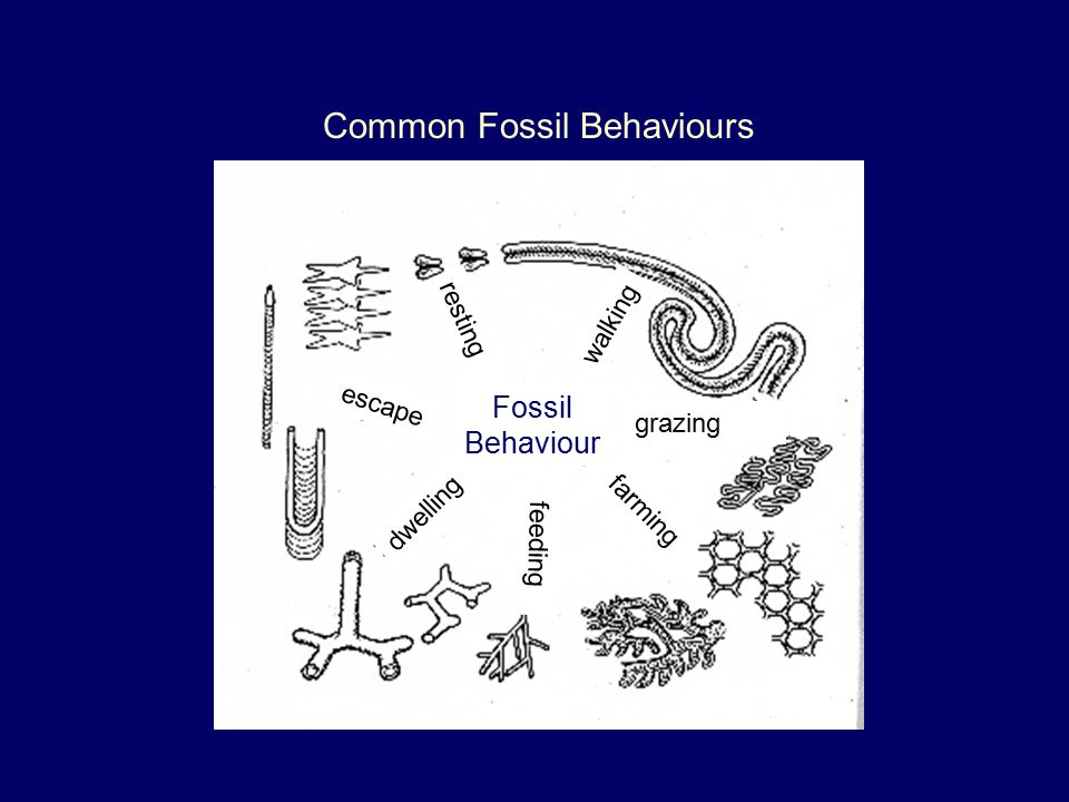 Common Fossil Behaviours