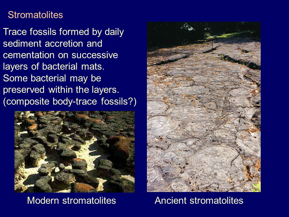 Stromatolites Trace fossils formed by daily. sediment accretion and. cementation on successive. layers of bacterial mats.