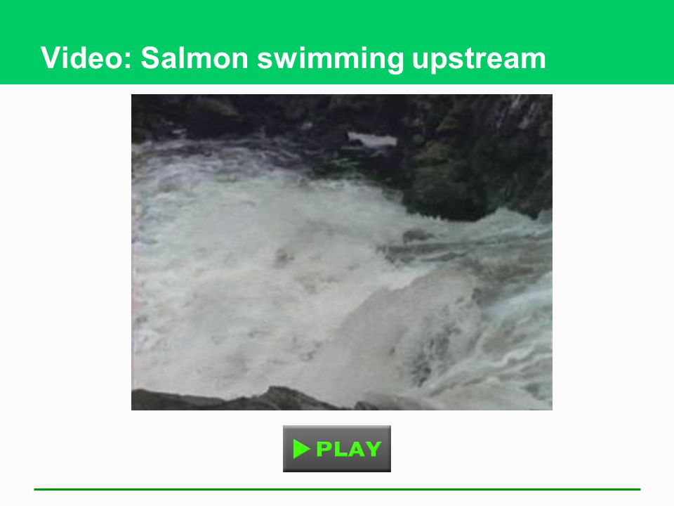 Video: Salmon swimming upstream