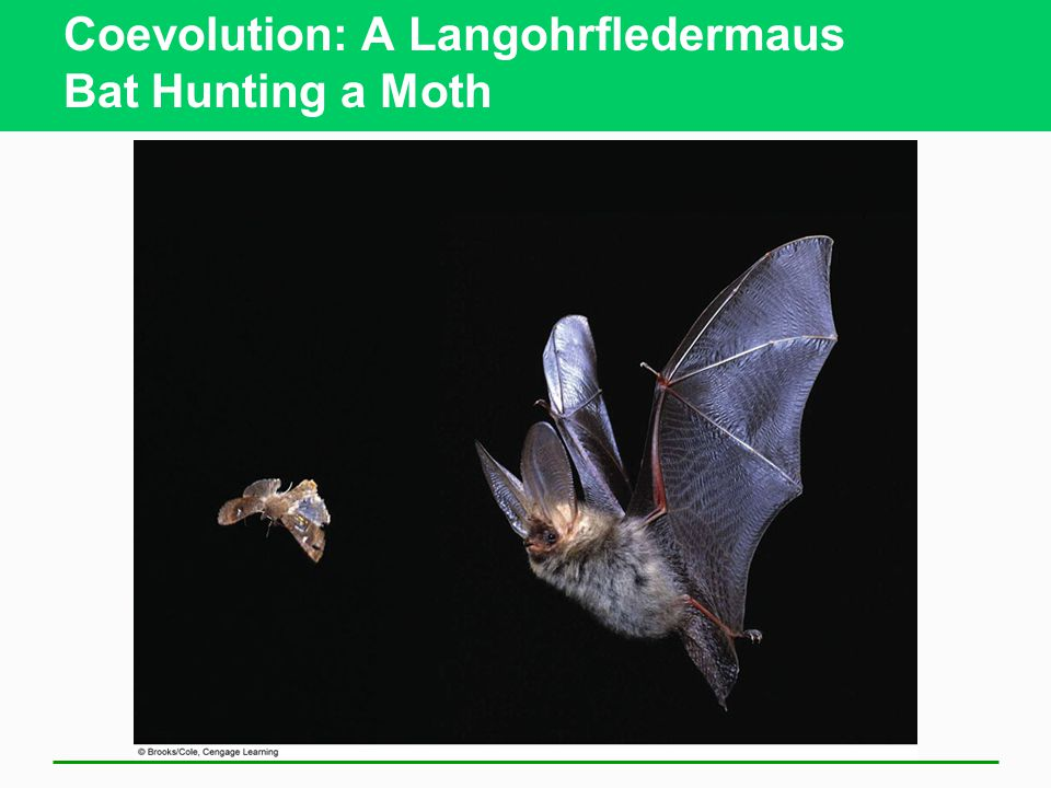 Coevolution: A Langohrfledermaus Bat Hunting a Moth