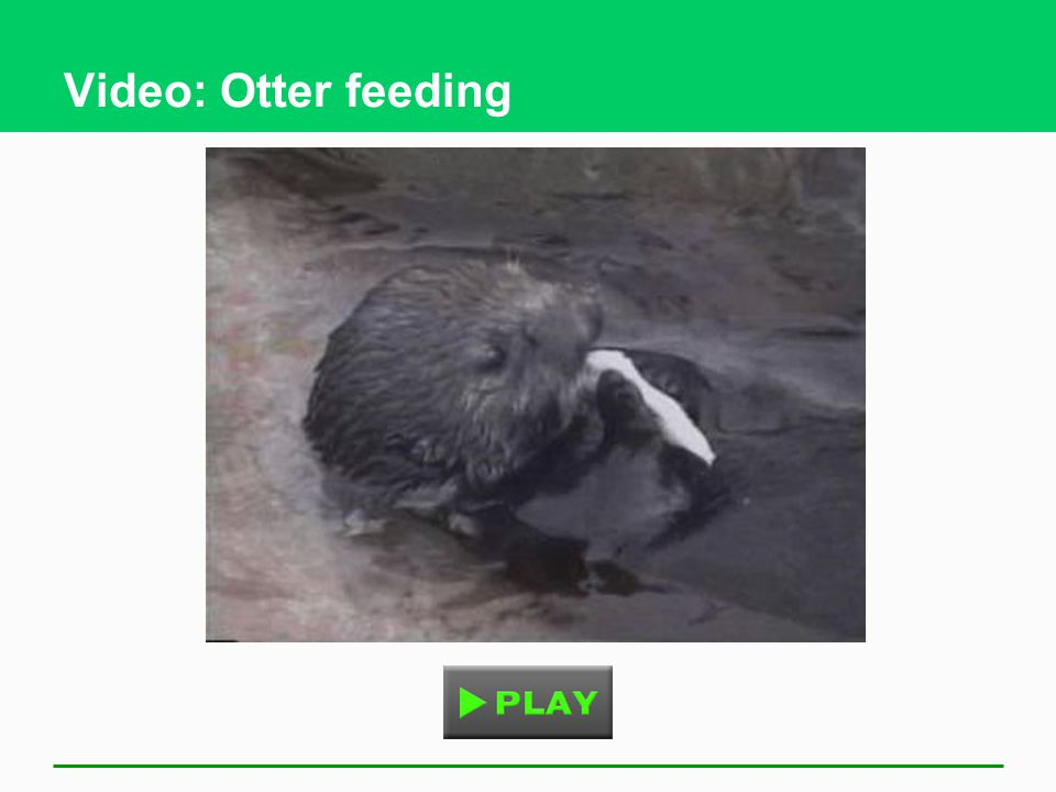 Video: Otter feeding