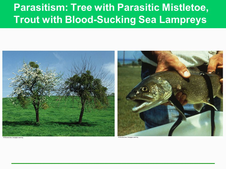 Parasitism: Tree with Parasitic Mistletoe, Trout with Blood-Sucking Sea Lampreys