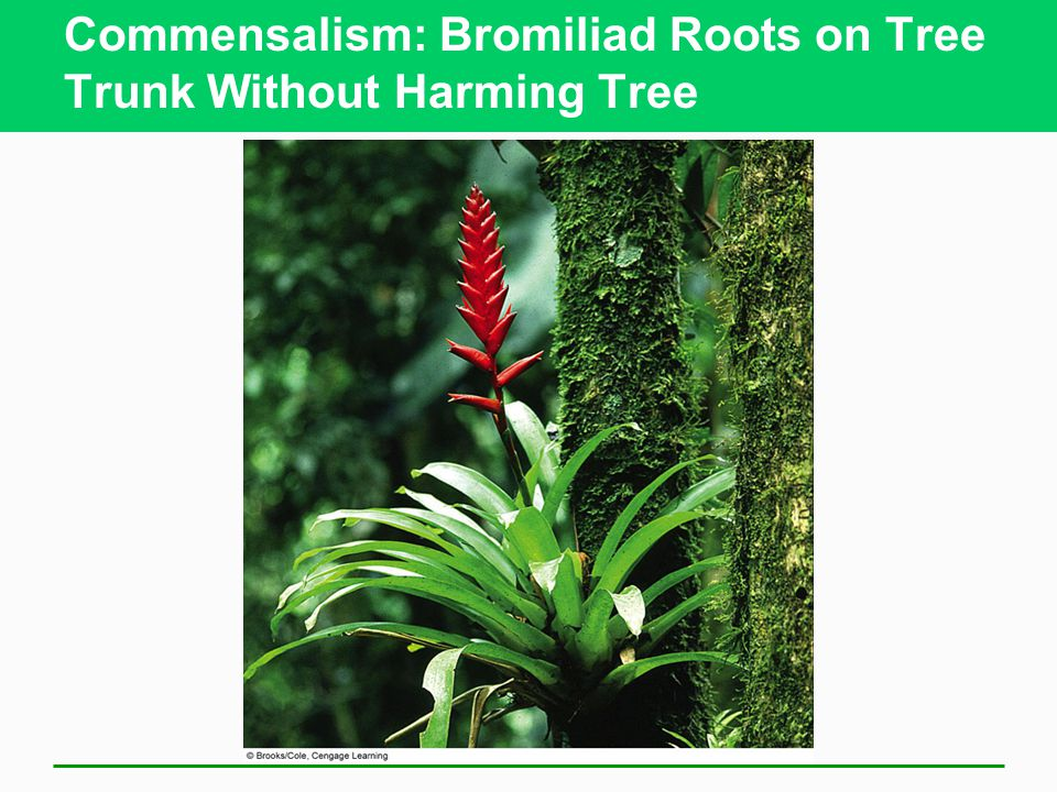 Commensalism: Bromiliad Roots on Tree Trunk Without Harming Tree