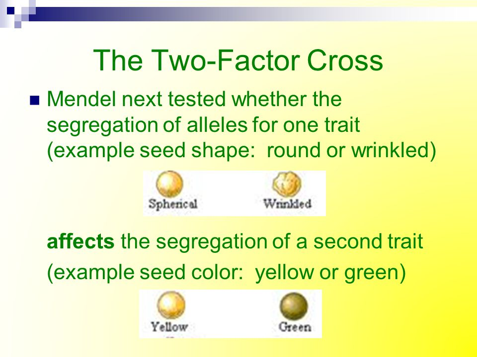 The Two-Factor Cross Mendel next tested whether the segregation of alleles for one trait (example seed shape: round or wrinkled)