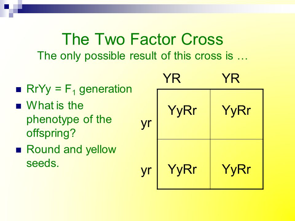 The Two Factor Cross The only possible result of this cross is …
