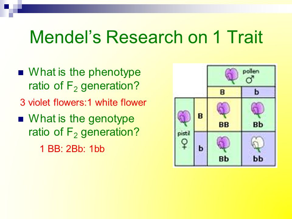 Mendel's Research on 1 Trait