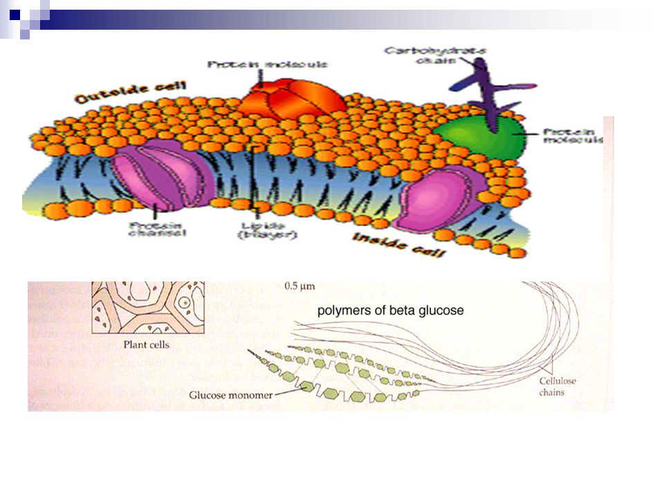 Some carbohydrates are very stable and can be used for structure and support in the cell and body (cellulose in the cell wall of plant cells).