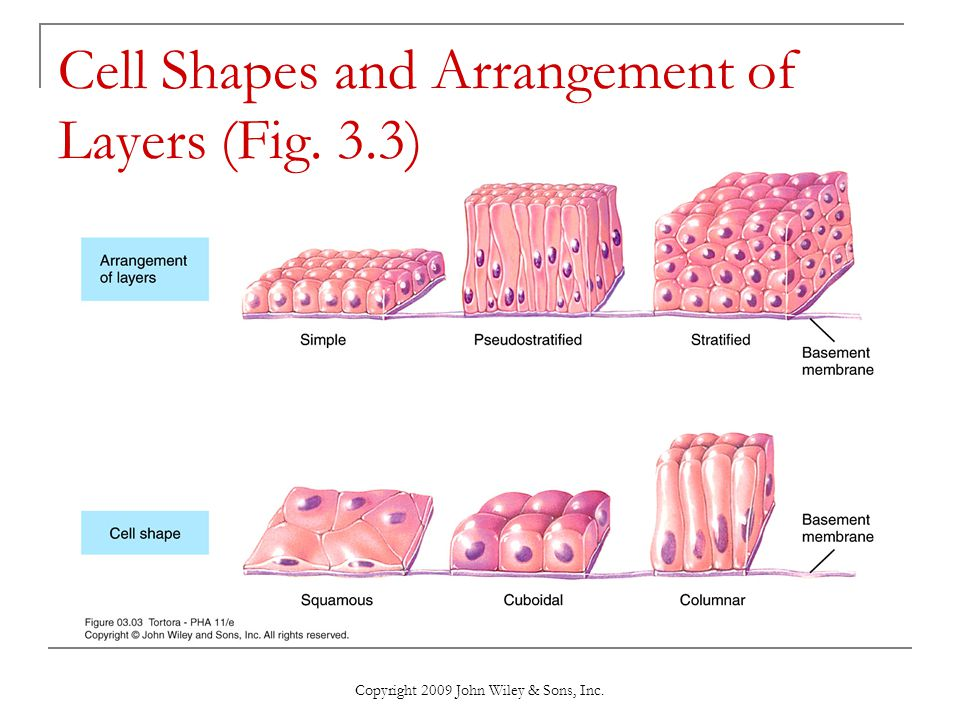 Cell Shapes and Arrangement of Layers (Fig. 3.3)