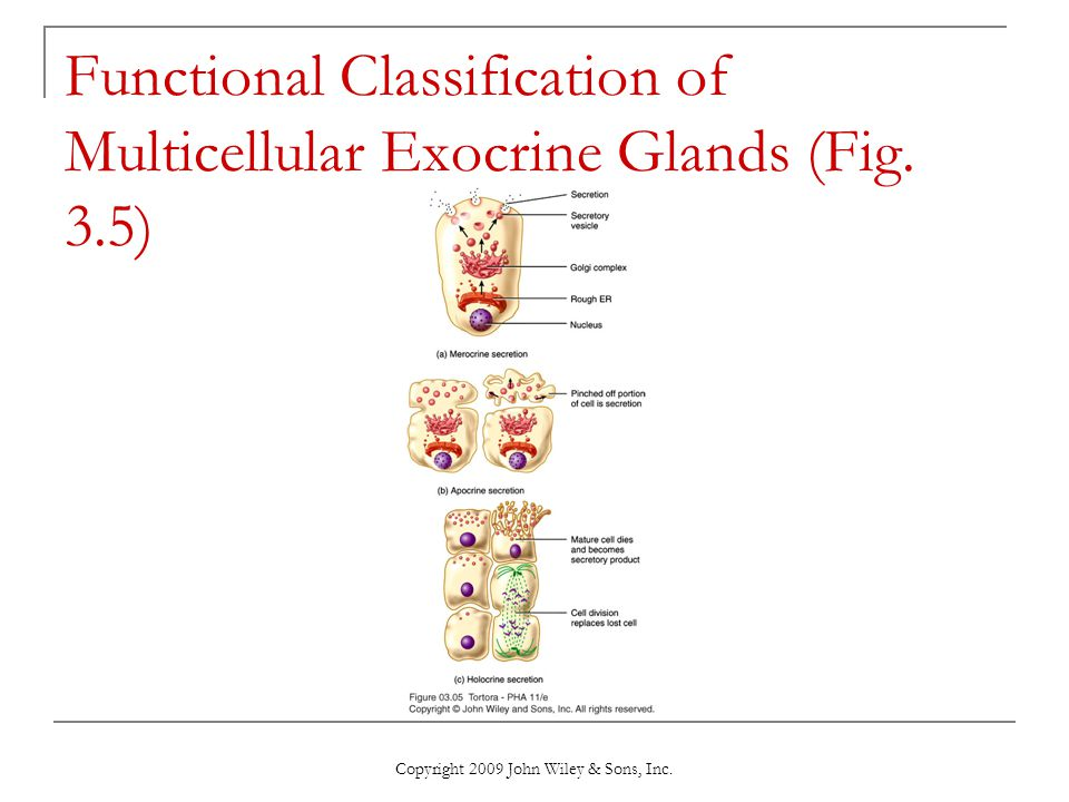 Functional Classification of Multicellular Exocrine Glands (Fig. 3.5)