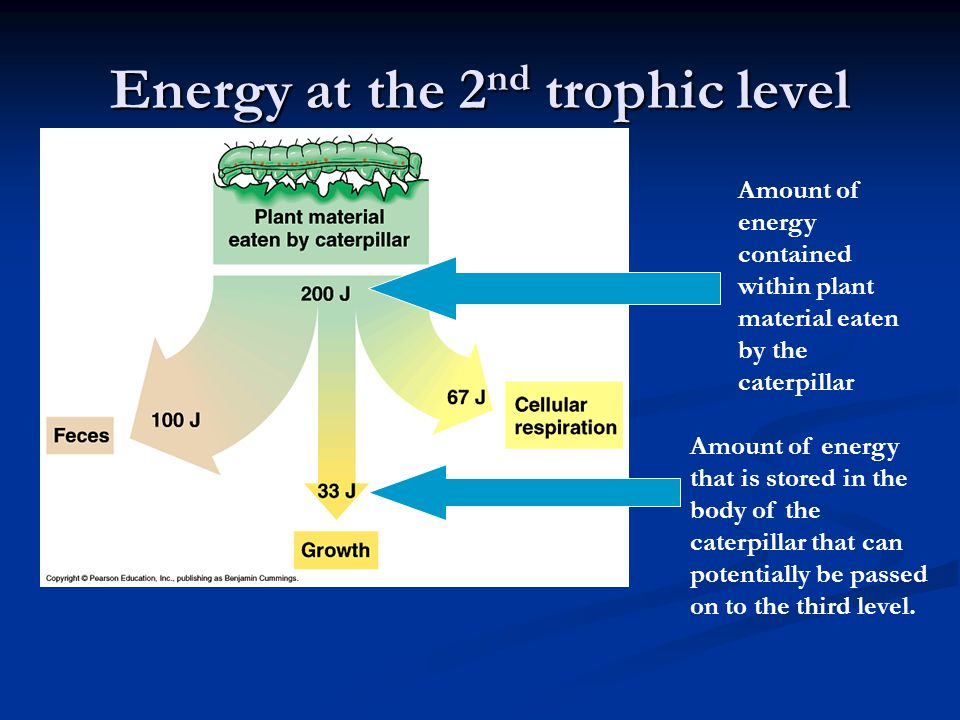 Energy at the 2nd trophic level