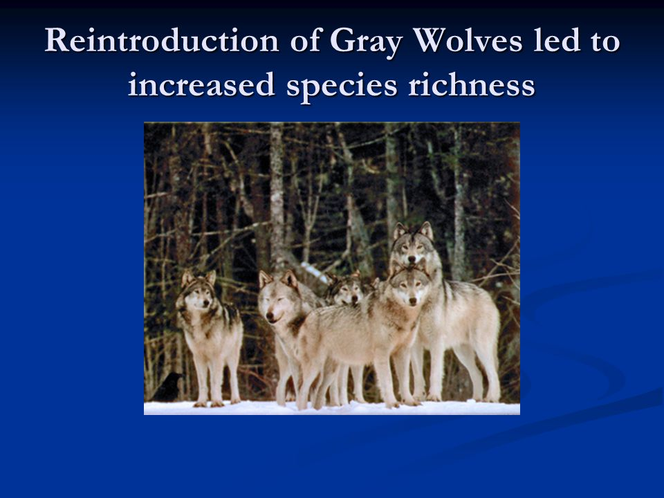 Reintroduction of Gray Wolves led to increased species richness
