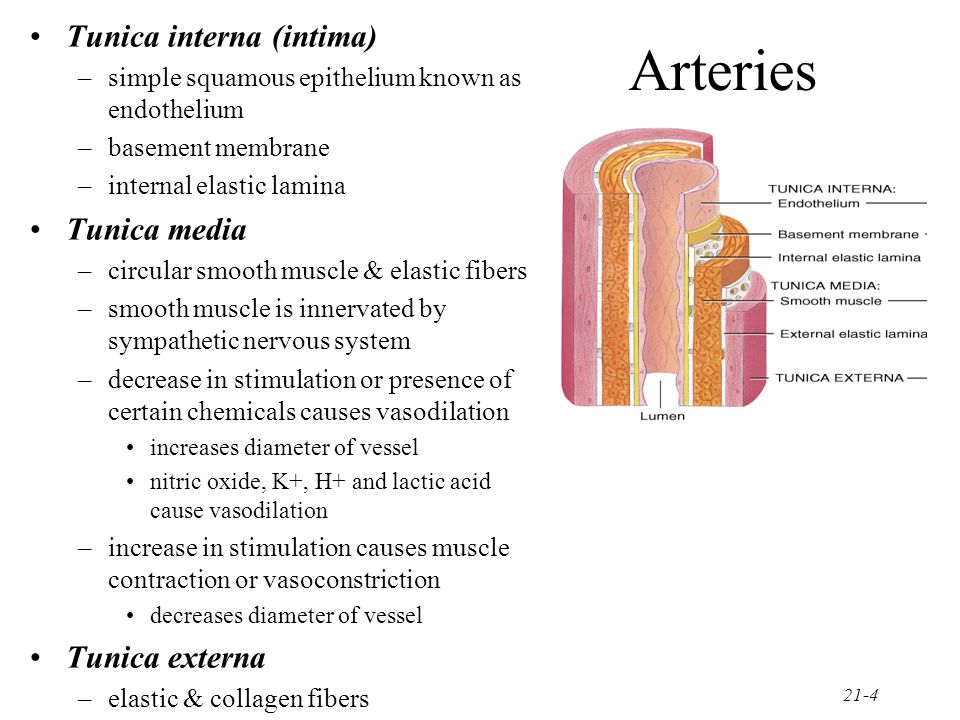 Arteries Tunica interna (intima) Tunica media Tunica externa